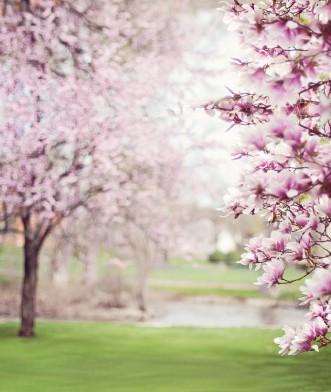 magnolia trees, pink purple